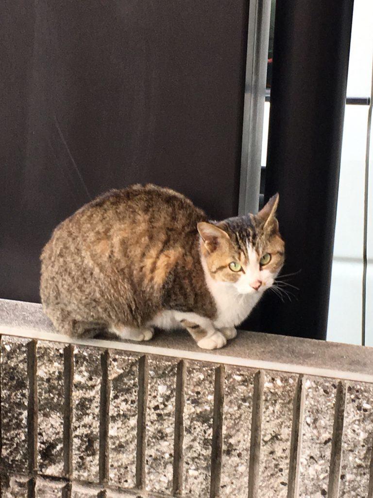 のらネコのミーちゃん、塀の上でドキドキする